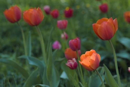 flora, Fruehlingsblumen, Spring, tulips, Tulpenbeet, spring, tulip : Stock Photo