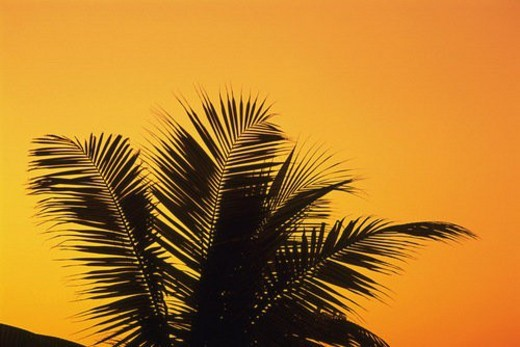 Several Palm Tree Leaves In Front of the Colored Sky, Orange From the Sunset, Low Angle View, Maldives, Micronesia : Stock Photo