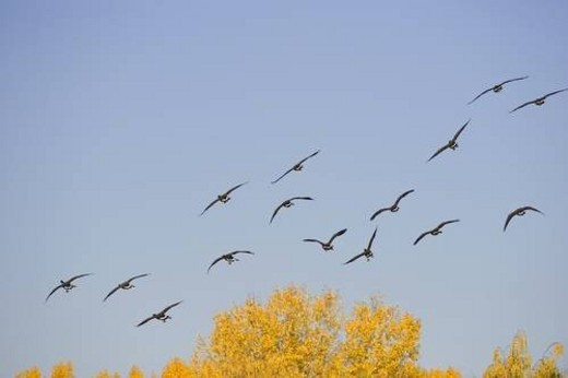 Group of geese flying : Stock Photo
