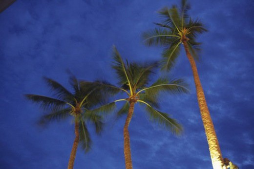 Three Palm Trees Under a Dark Blue Sky, Low Angle View, Hawaii, USA : Stock Photo