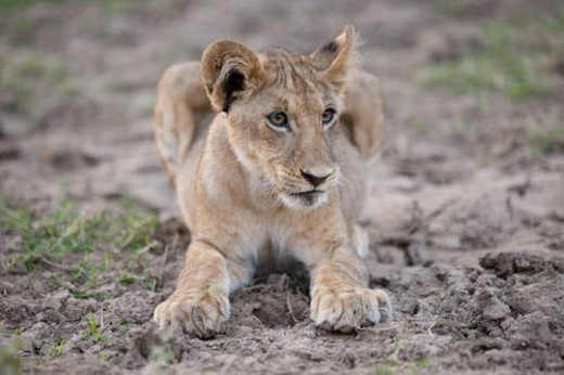 Stock Photo: 4029R-436422 Lion Cub in Kenya Africa