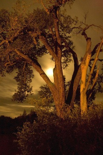 Old tree at evening : Stock Photo