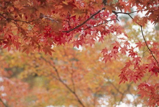 Branch covered in red Autumn leaves : Stock Photo