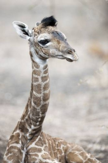 Stock Photo: 4029R-443184 Giraffe wildlife in Kenya