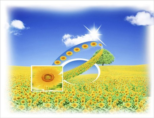 Stock Photo: 4029R-444054 View of sunflowers under sky