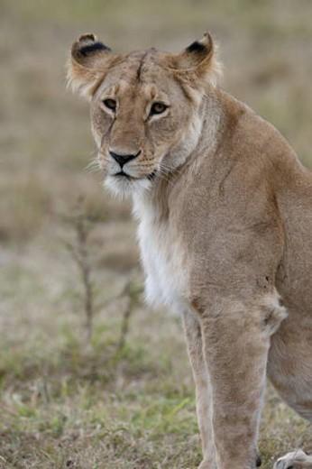 Lion wildlife in Kenya : Stock Photo