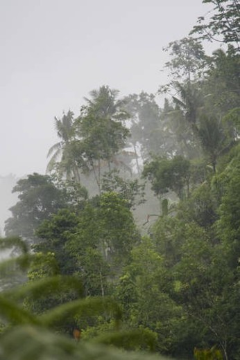 Stock Photo: 4029R-462783 Tropical vegetation in mist in Bali