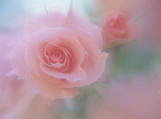 Stock Photo: 4029R-46764 Rose