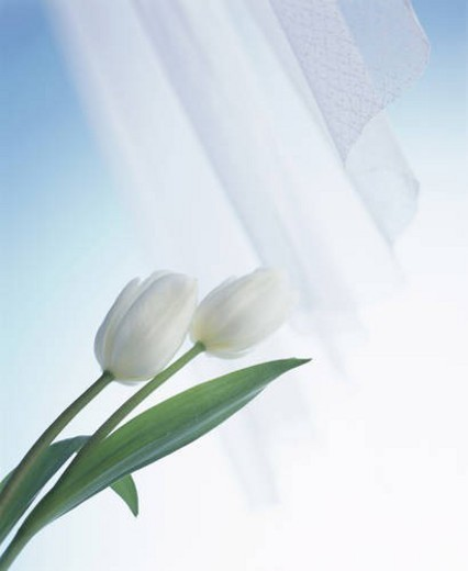 Stock Photo: 4029R-47347 White tulips and a curtain