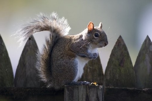 Stock Photo: 4029R-47639 Squirrel on a fence post