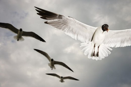 Seagulls in flight. : Stock Photo