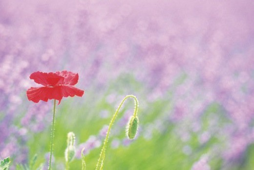 a Red-colored Poppy, Surrounded By a Purple-colored Flowerfield, Front View, Differential Focus : Stock Photo