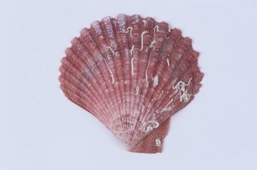 Scallop Shell : Stock Photo