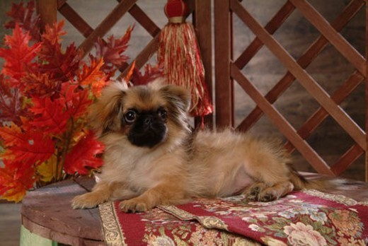 Stock Photo: 4029R-56874 canine, dog, close up, domestic animal, pet, companion, pekingese