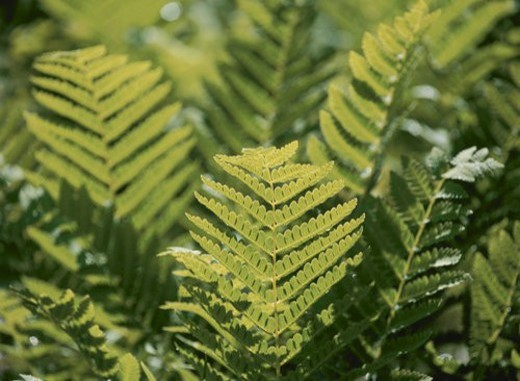 Stock Photo: 4029R-59472 Copper Pheasant Flowering Fern