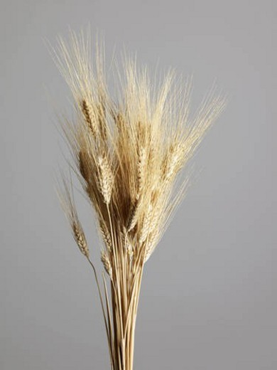 Stock Photo: 4029R-60934 Studio Shot of Bunch of Wheat Plants