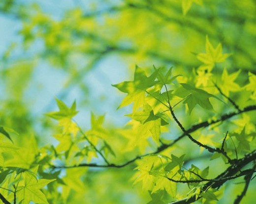 Stock Photo: 4029R-6163 Several Maple Trees, Front View, Differential Focus
