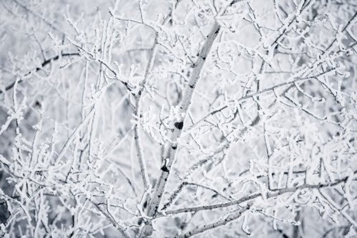 Tree branches with frost : Stock Photo