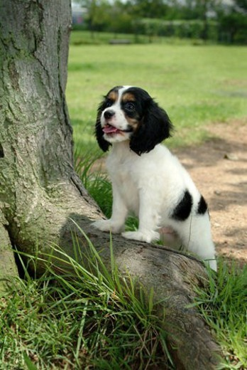 cute, english cocker spaniel, loving, canines, domestic, house pet, cocker spaniel : Stock Photo