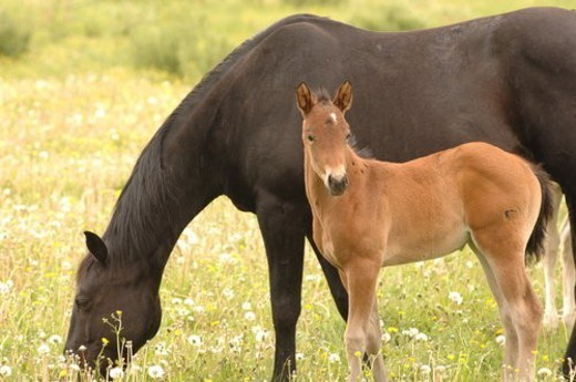 Colt with mother grazing in pasture : Stock Photo