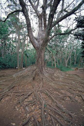 old, oriental, traditional, tree, garden, park : Stock Photo