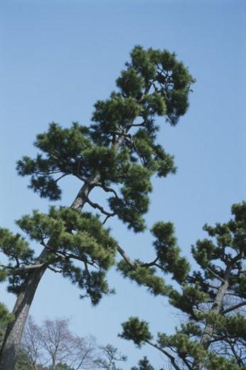 Stock Photo: 4029R-64621 Pine Trees