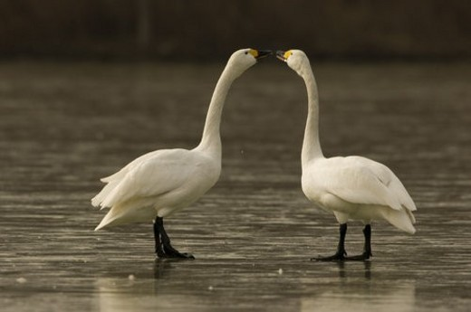 Two swans standing on iced river : Stock Photo