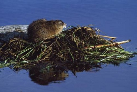 Muskrat on top of acquatic hut it has built in a pond : Stock Photo