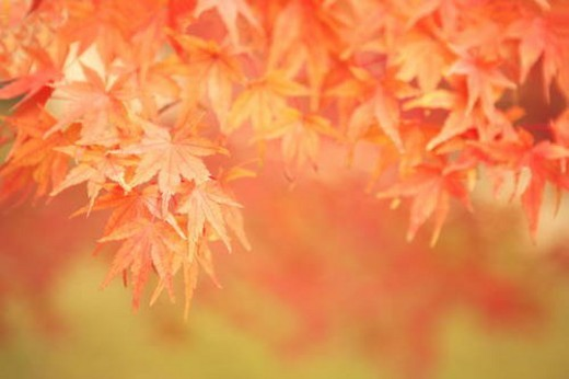 Close Up Image of Red Maple Tree Leaf : Stock Photo
