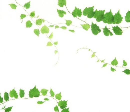 Stock Photo: 4029R-66940 View of leaves with white background (digital composite)
