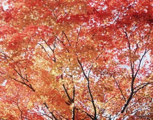 Stock Photo: 4029R-6823 Maple Tree in Autumn Color