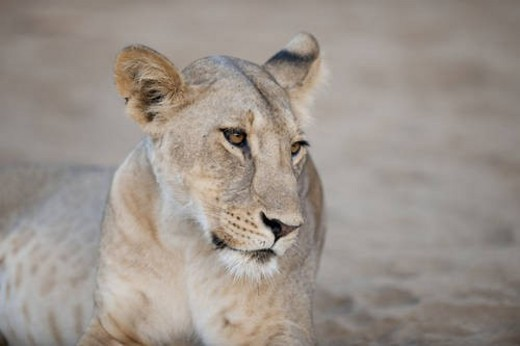 Stock Photo: 4029R-69671 Lion in Kenya Africa