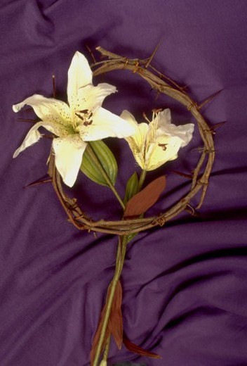 Stock Photo: 4029R-69788 Easter lilies in crown of thorns