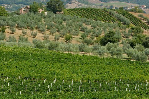 Vineyards with olive grove in distance, landscape view : Stock Photo