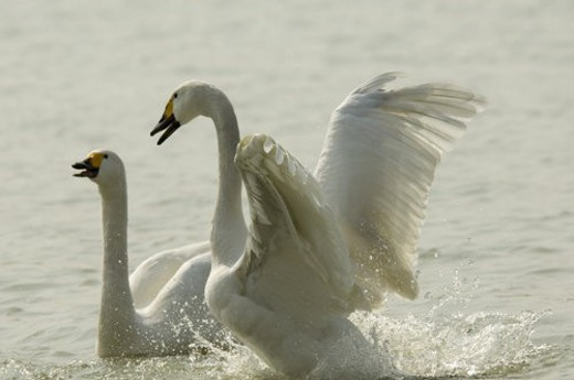 Two swans playing in water : Stock Photo