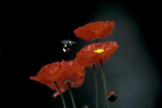 blooms, bee, bloom, black, Bernhard, abloom : Stock Photo
