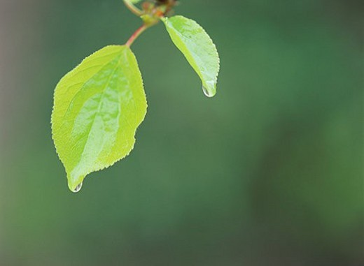 Water drop on green leaves : Stock Photo