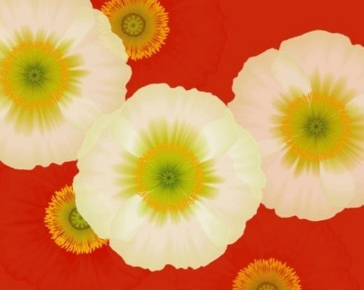 Stock Photo: 4029R-77439 Closed Up Image of Three White-colored Poppys, High Angle View, Illustration, Illustrative Technique