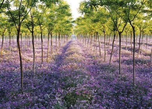 Sea of flowers and distant trees : Stock Photo