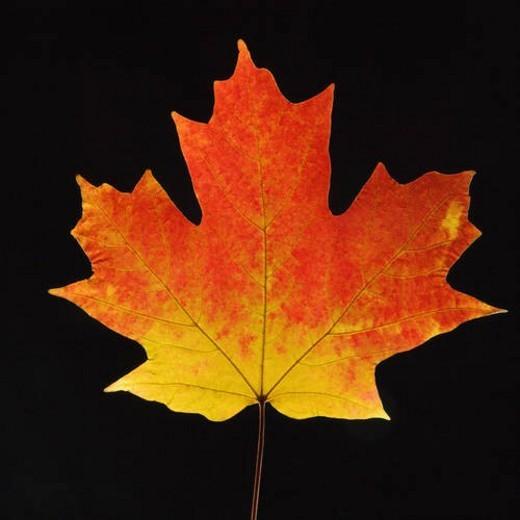 Stock Photo: 4029R-79057 Sugar Maple leaf against black background.