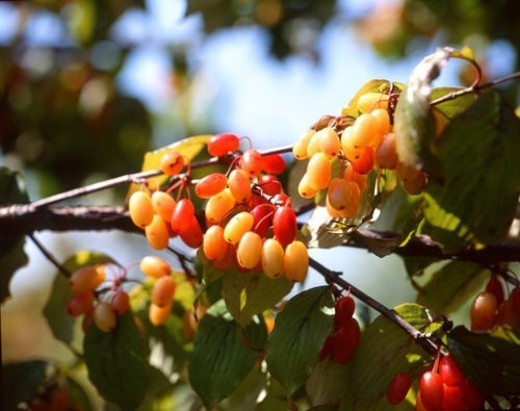 fall, cornelian cherry, season, tree branch, fruit, autumn, cornelian cherry tree : Stock Photo