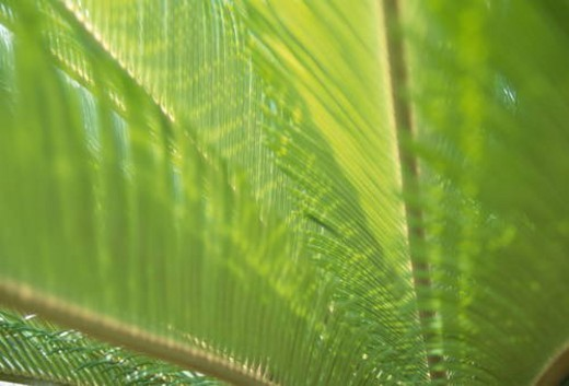 Stock Photo: 4029R-81677 Sago palm