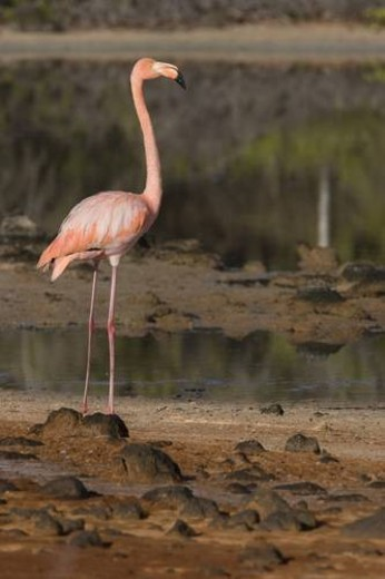 Greater flamingo (Phoenicopterus ruber) foraging for small pink shrimp (Artemia salina) in saltwater lagoons in the Galapagos Island Group, Ecuador. Pacific Ocean. : Stock Photo