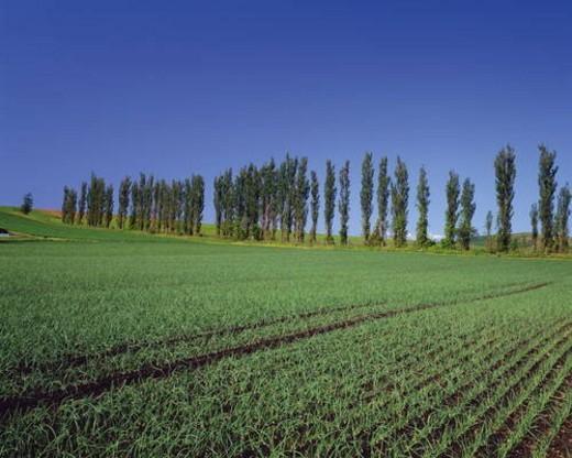 Field of onion crops in Nakafurano-Machi, Hokkaido, Japan : Stock Photo