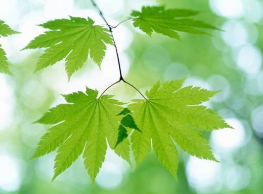 Maple leaves, close up, Aomori prefecture, Japan : Stock Photo