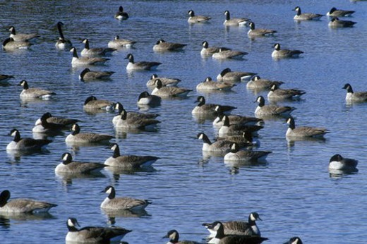 Stock Photo: 4029R-95125 Flock of ducks on pond, Pierre