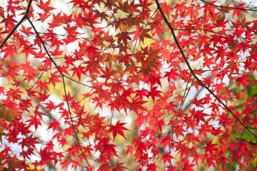 Red Japanese maple leaves in autumn : Stock Photo