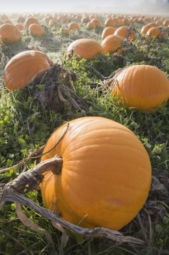 Pumpkin patch : Stock Photo