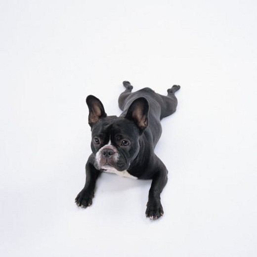 Stock Photo: 4029R-98221 High angle view of black French bulldog lying