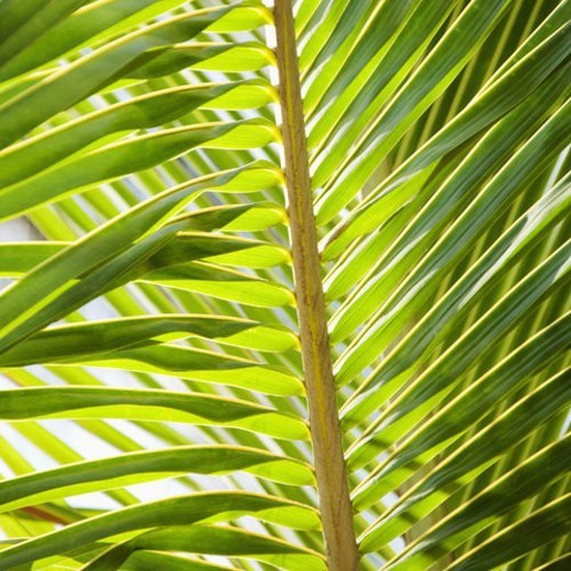 Close up of palm frond. : Stock Photo